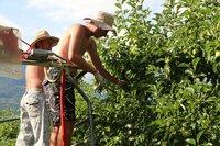 Arbeiter pflücken an den Bäumen die kleinsten, unbrauchbaren Äpfel ab, damit die größeren mehr Platz haben.