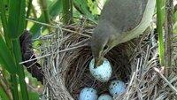 Sumpfrohrsänger sind clever. Sie erkennen, wenn ein Kuckuck sein Ei in ihr Nest gelegt hat und zerstören es.