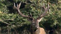 Platzhirsch: Die Brunft im Herbst zählt zu den imposantesten Naturschauspielen des Jahres. Die stärksten Hirsche versammeln einen Harem und verteidigen ihn gegen Rivalen.