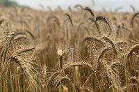 Für Investoren sind Acker- und Grünland zur attraktiven Finanzanlagen geworden, denn in vielen Regionen haben sich in den vergangenen zehn Jahren die Preise für Agrarflächen verdoppelt. Auch die Pachtpreise steigen kräftig. Kleine und mittlere Landwirtschaftsbetriebe können da oft nicht mehr mithalten. Dabei können gerade sie nachhaltig und regional produzieren. Was führt aus dem Dilemma? - Ackerfläche ist begehrt.