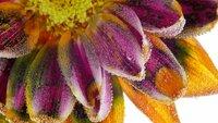 Makroaufnahme eines Farbwechsels von Blütenpigmenten.