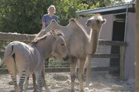 Ein Zesel und ein Kamel sind beste Freunde