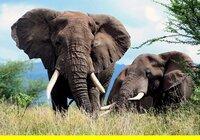 Elefanten im West-Kilimanjaro-Gebiet.