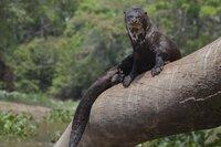Ein Riesenotter liegt auf einem Baumstamm