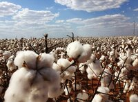 Soweit das Auge reicht: gentechnisch manipulierte Baumwolle. Den Rest des Jahres wächst hier Gensoja, das fast ausschließlich für den chinesischen Markt angebaut wird. Die Profite der Agra-Bosse in Brasilien steigen – auch dank der Transoceánica.