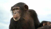 Schimpansen gehören zu unseren engsten Verwandten und gelten als äußerst intelligent. Der Filmcrew gelangen Aufnahmen von einem jungen Weibchen, das geschickt verschiedene Werkzeuge nacheinander nutzte, um ein Versteck unter einer Baumrinde zu knacken. Darunter hatten Stachellose Bienen ihren mühsam gesammelten Honig versteckt.