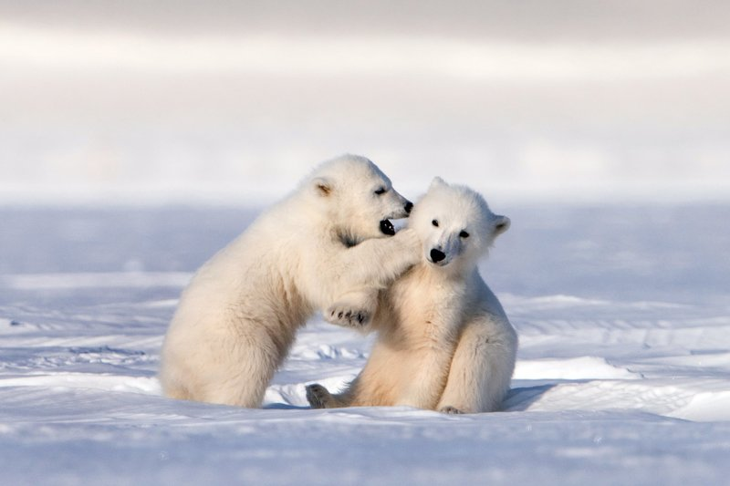 Eisbären - Abenteuer einer jungen Familie
